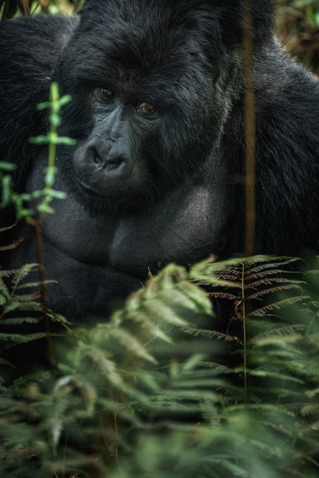 CS-170928-gorillas-021.jpg