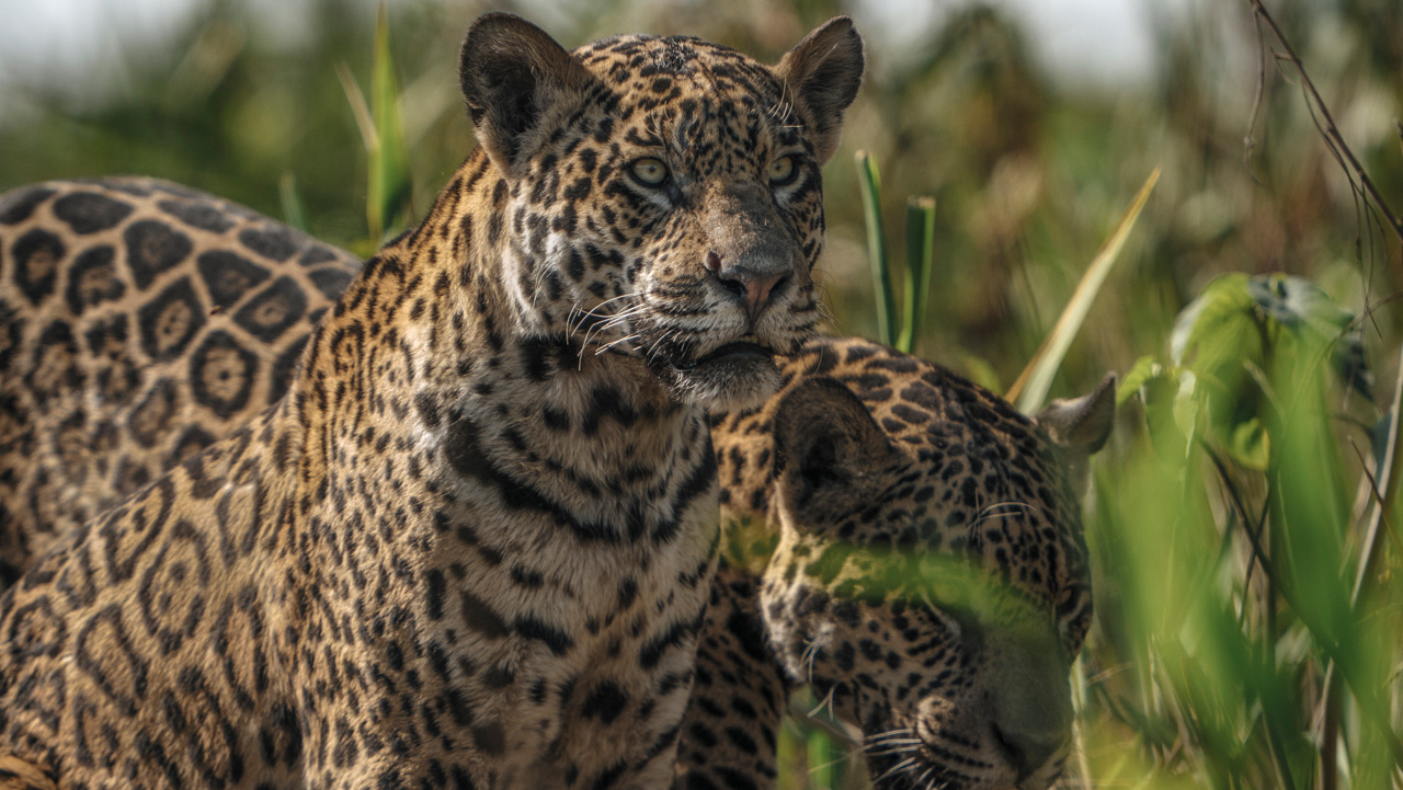 Pantanal, BrazilJaguars Of The Pantanal - July 2020 - Limited places - Contact us for more information