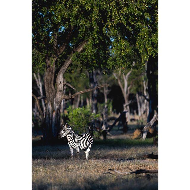 Mana Magic 🦓 • • • #manapools #ruckomechicamp #wildernesssafaris #wearewilderness #zebra #photosafari #nikon #zimbabwe