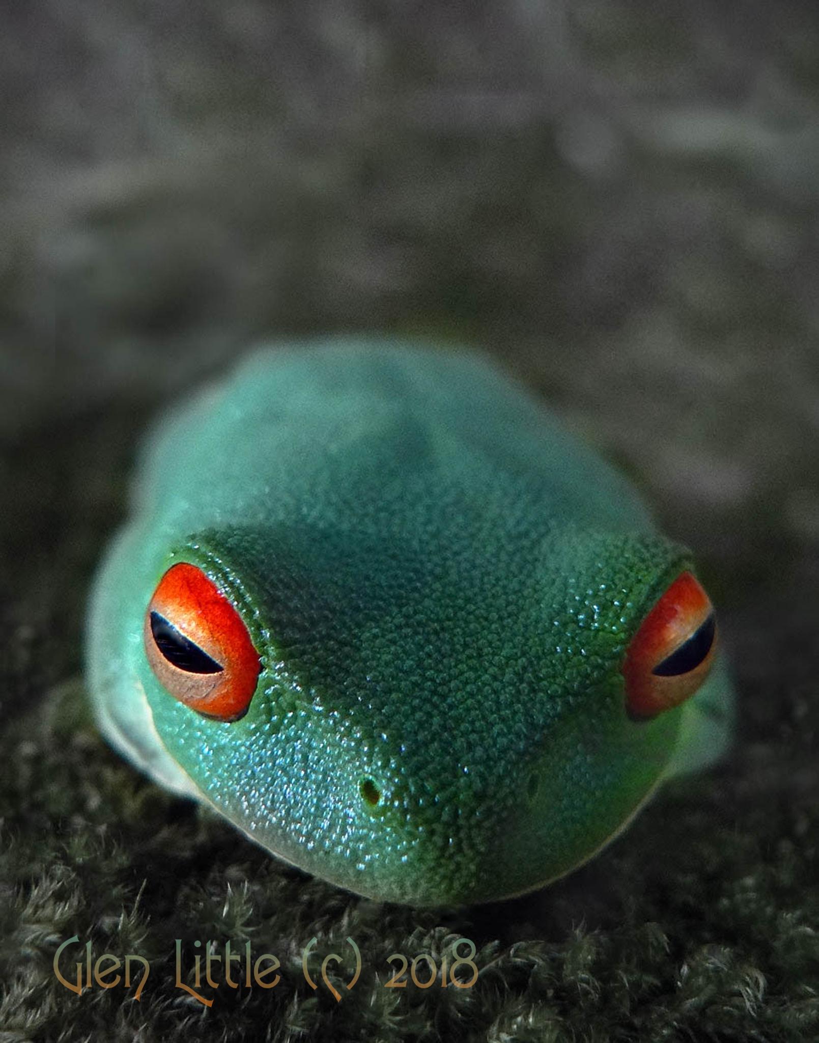 desatRed Eyed Frog (1).jpg