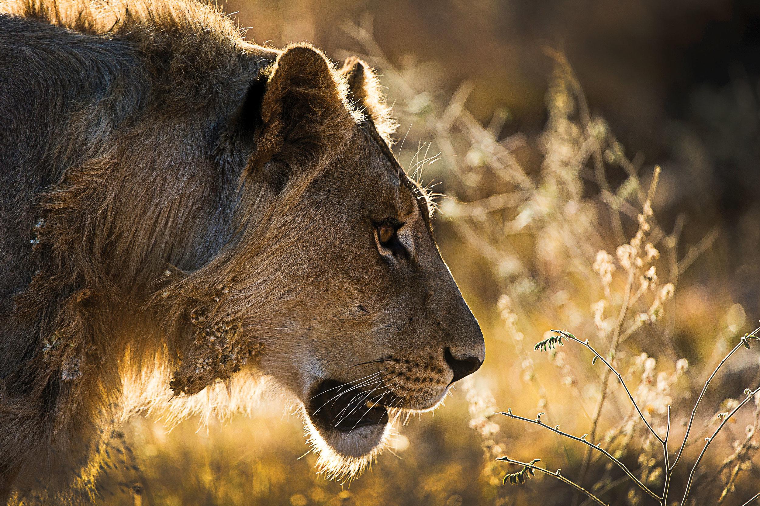 Rare Earth_Welgevonden_Lion.jpg