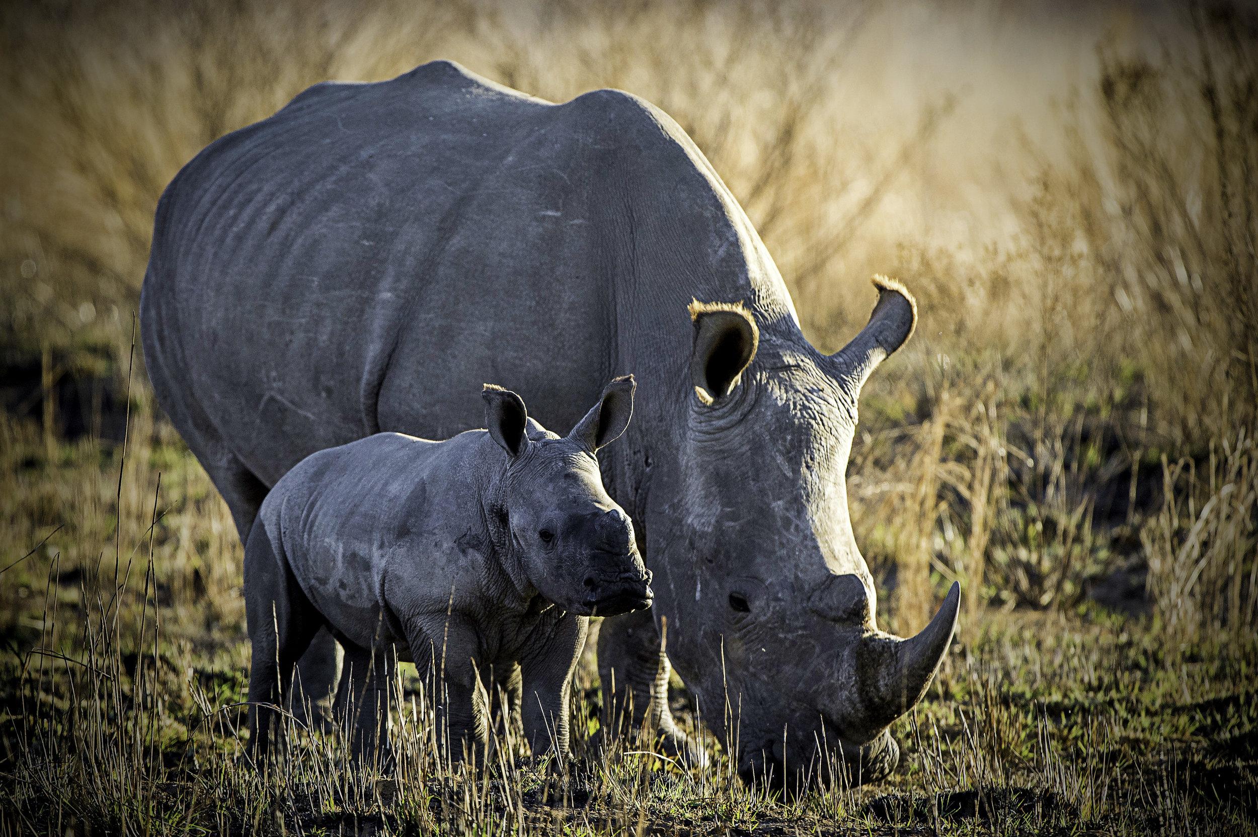 Rare Earth_Welgevonden_Rhino_01.jpg