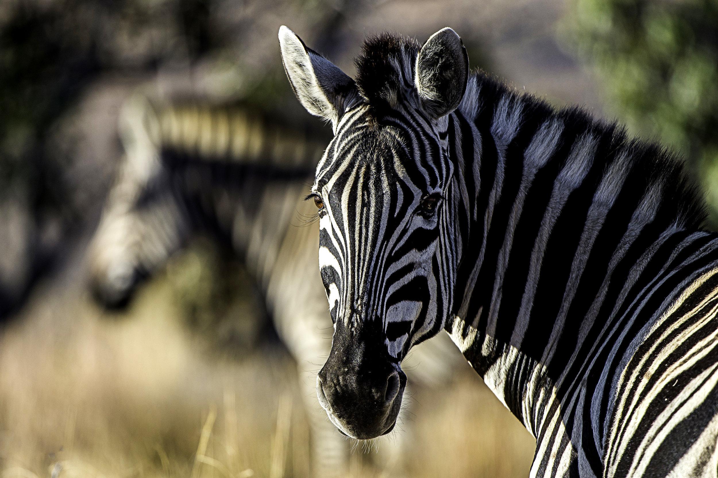 Rare Earth_Welgevonden_Zebra_02.jpg
