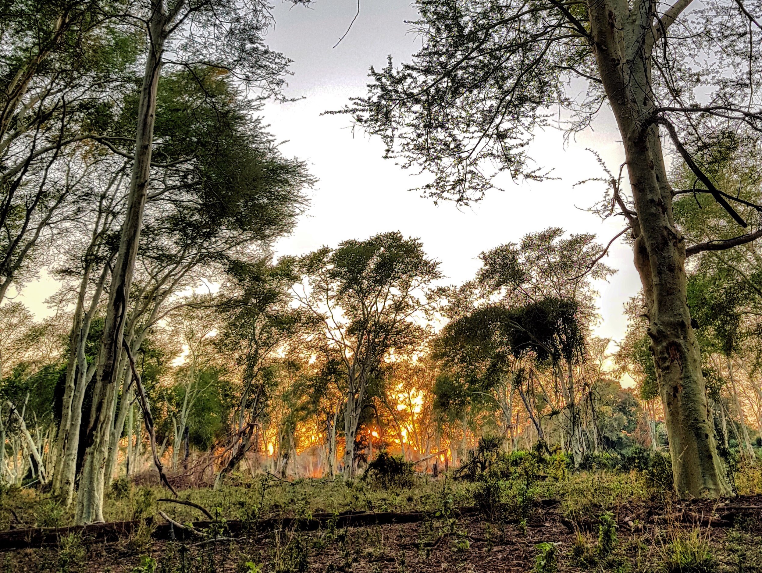 FEVER TREE FAIRY TALE: The magical green fever tree forest at sunrise. There is nothing like witnessing the morning light on these beautiful trees.