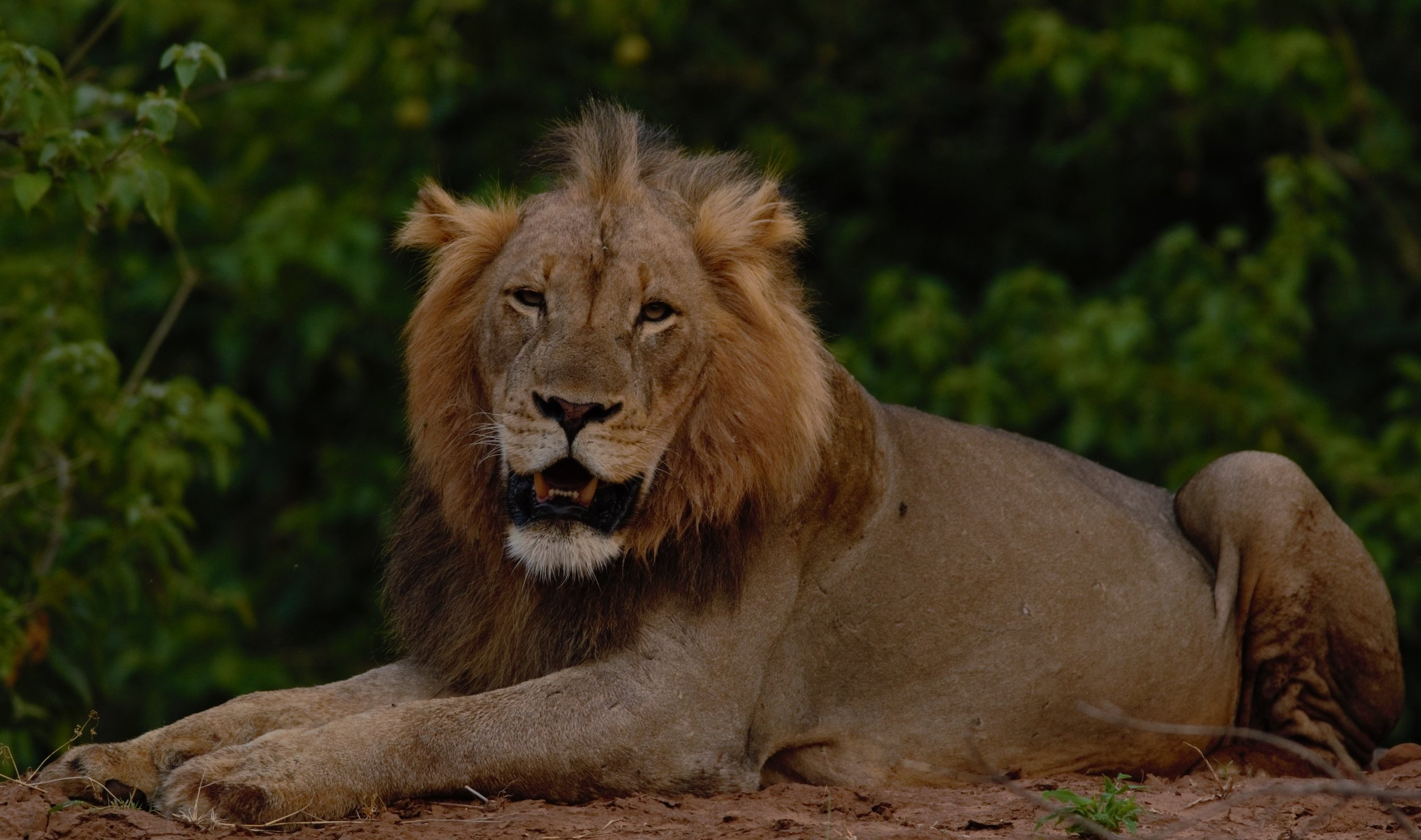 MAJESTIC MALE LION:To see lions in the Pafuri region is a privilege, something we all get excited about each time.