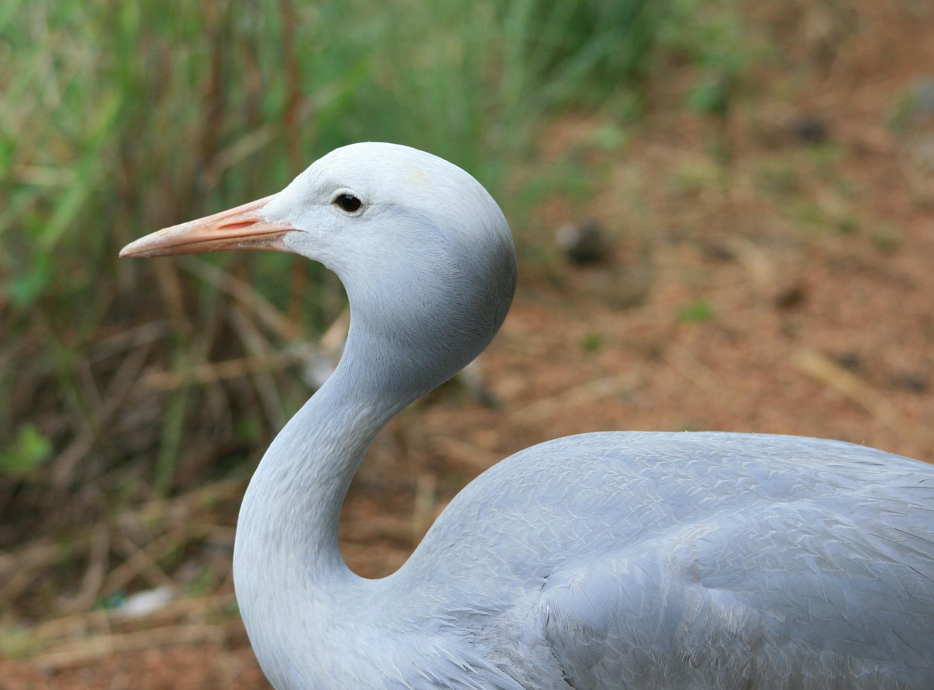 blue-crane-bird-235789_1920.jpg