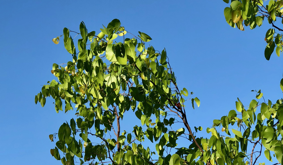 35. Mopane tree (mopane means butterfly and leaves look like them) Got clearer pic of leaves in other shots to come 1.jpg