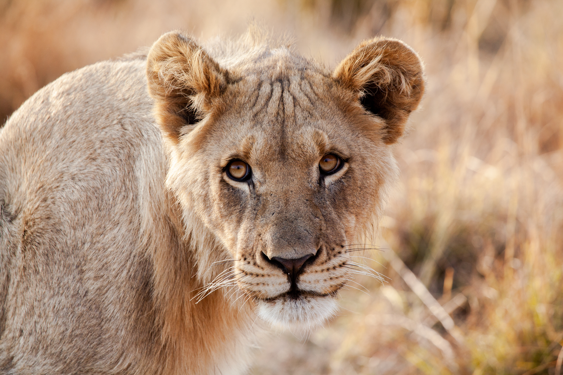 IN MY ELEMENT: On our game drives we saw so many lions and I couldn't resist taking loads of photos of them.