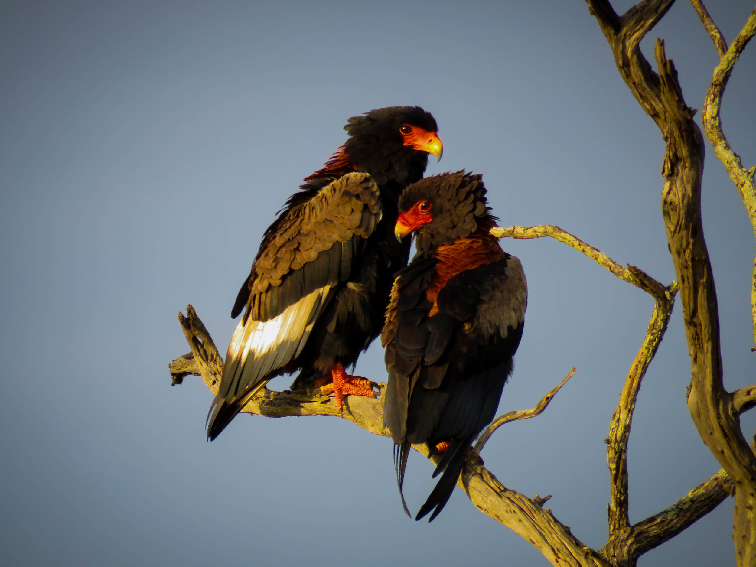 A PERFECT PAIR: Two beautiful Bateleur eagles posing for us, the female is on the left and male is on the right.