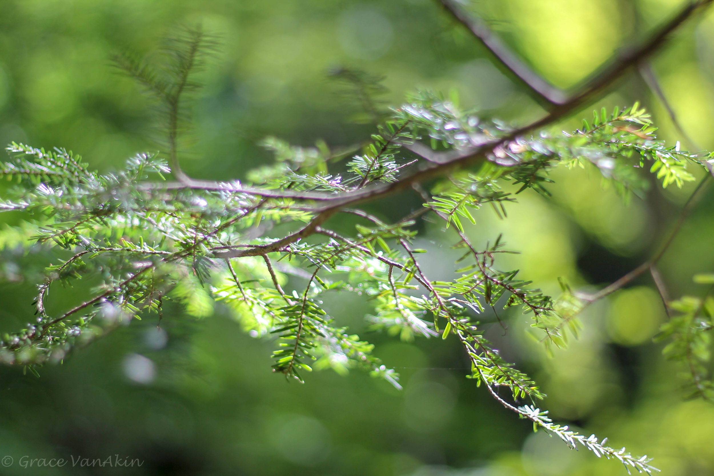 Fir Tree Branch.jpg