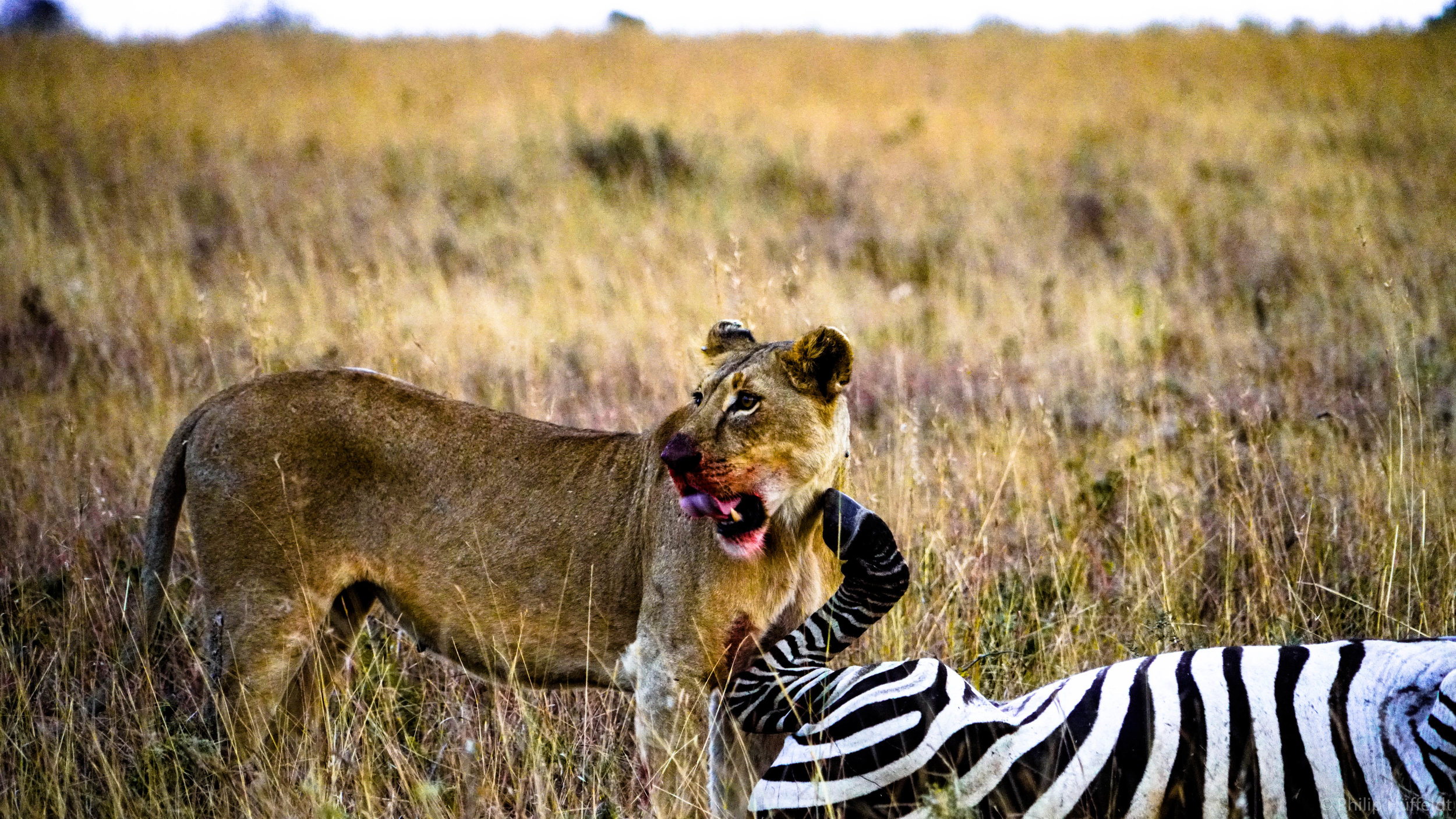 Lioness with Zebra kill Kenya.jpg