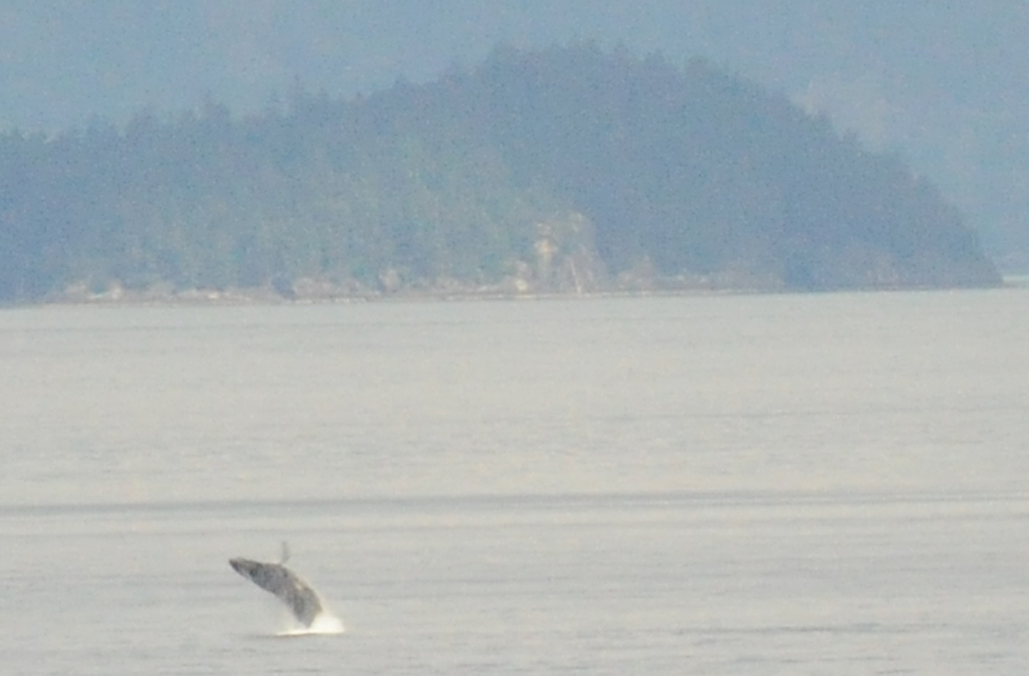 Humpback Whale in Howe Sound