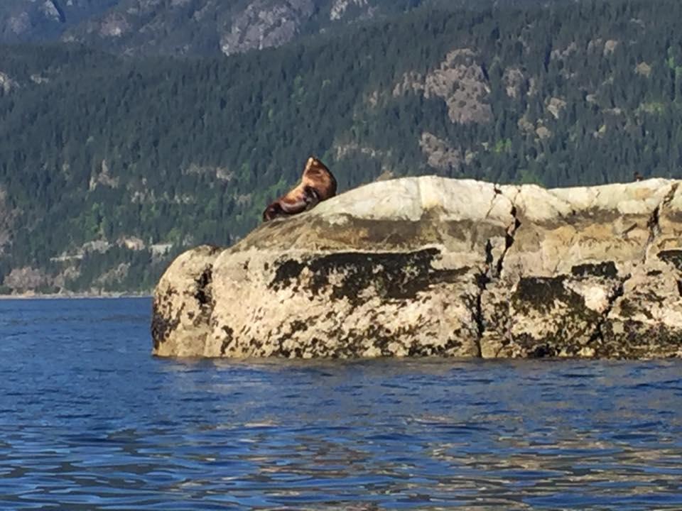 Sellar Sea Lion at Christie Islet