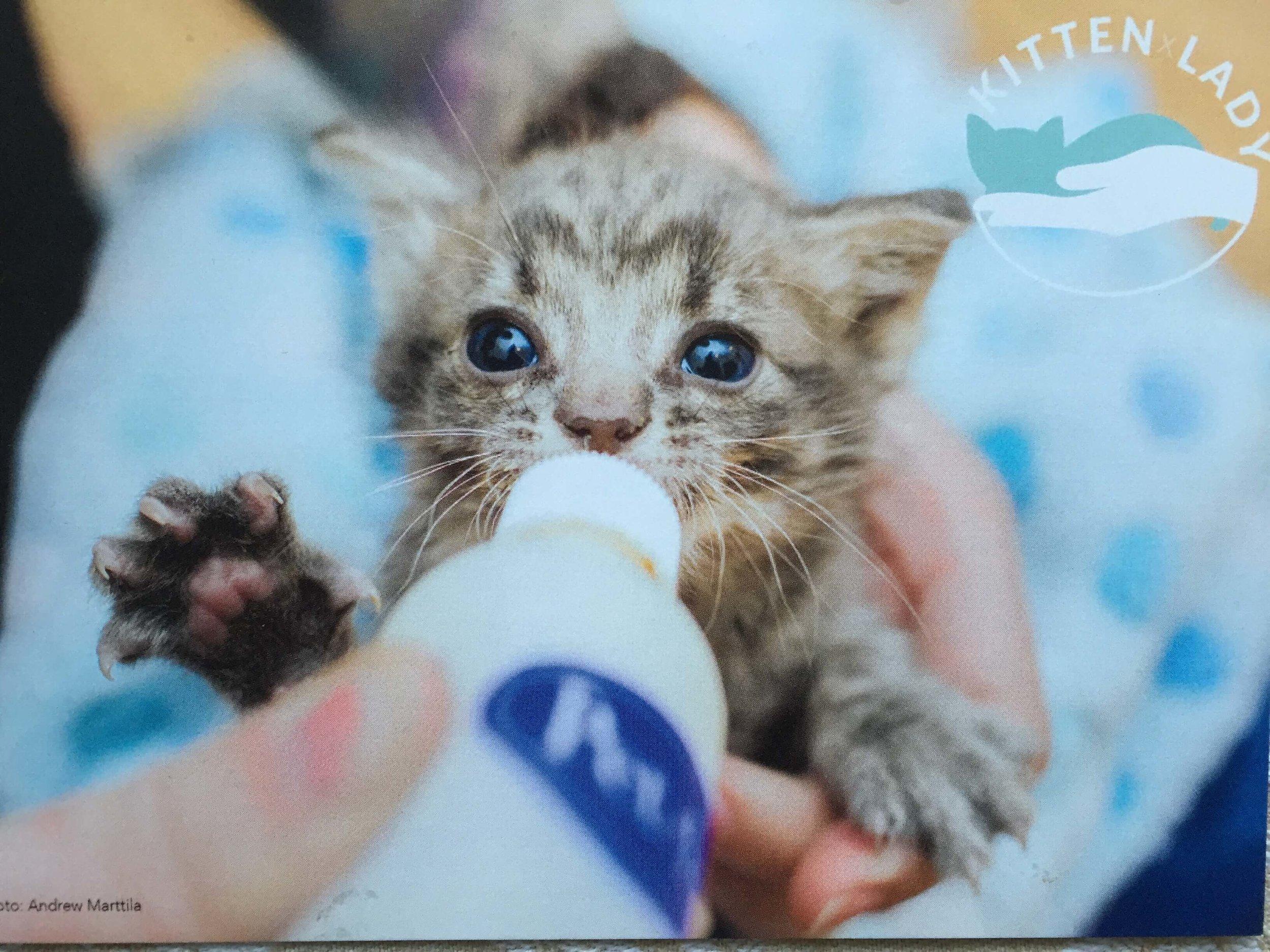 Kitten Lady Cat being Fed.JPG