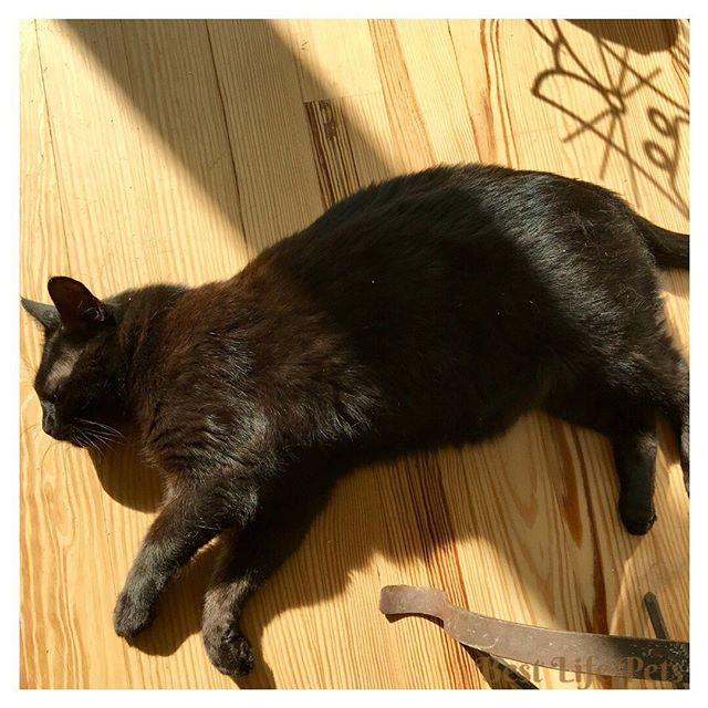 """It's """"on the side Wednesday"""". Just relaxing in the morning sun in my favorite position - on my side! Thought mom did a good job of getting the shadow of my wrought iron cat statue in the picture too! @milou__the_cat  #otswednesday #blackcatsofinstagram #blackcatsrock #greycatsofinstagram #cat_features #buzzfeedcats #adoptdontshop #catlover #catloversclub #happycat"""