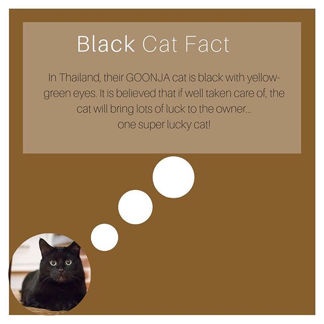 Black cats in Thailand are revered! Sounds like they have the right idea! #blackcatsaregoodluck #blackcatsofinstagram #blackcatsrock #catsthailand #blackcats #goodluck