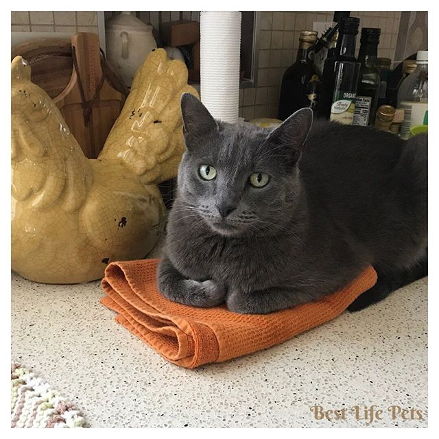 Beau thinks he is mom's sous-chef! He notices she uses this thing a lot so he is keeping it safe for her! Check out the blog for the latest info on the fresh food diet! #rawfooddiet #barfdietcats #barfdietdog #catsagram #catsofinstagram #catlife #lovemycats #dailymeow #adoptdontshop