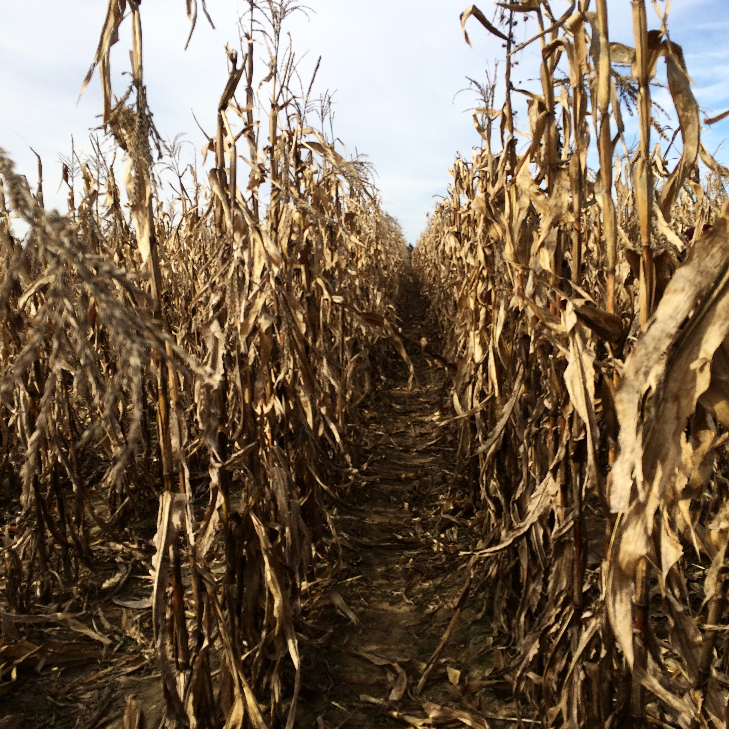 nearby. I had a dream that cornstalks wrapped around my chest and arms. land in memory.