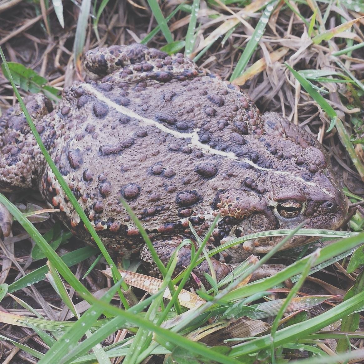 Boreas Toad