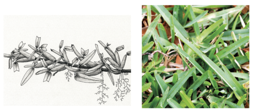 St. Augustine grass