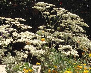 Buckwheat  (Eriogonum 'St. Catherine's Lace')