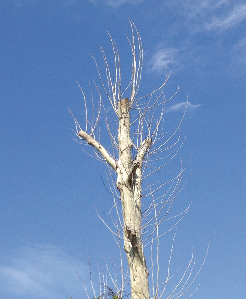 Trees should never be topped or whacked. - This can create a dangerous situation, and one ugly tree!
