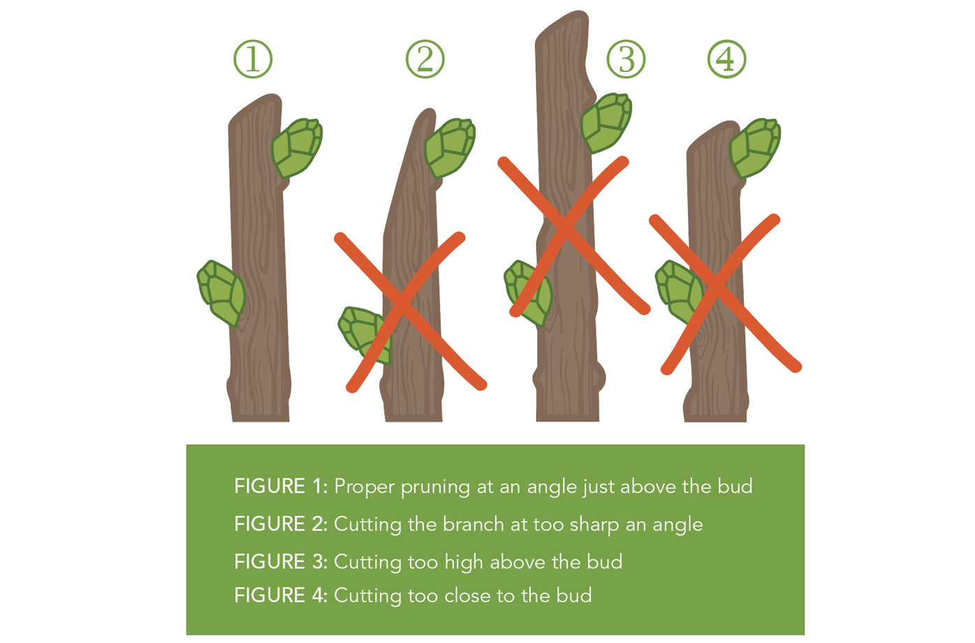 Pruning cuts should be made above a bud or branch that is pointing in the direction of the desired new growth.