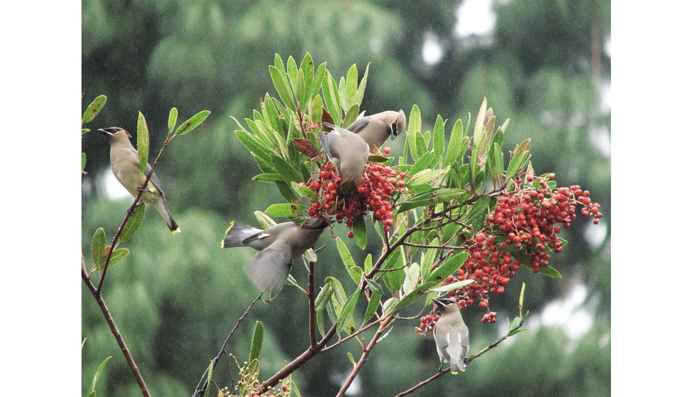 Cedar waxwing birds on toyon ( Heteromeles arbutifolia ) - Image © Antonia Warner