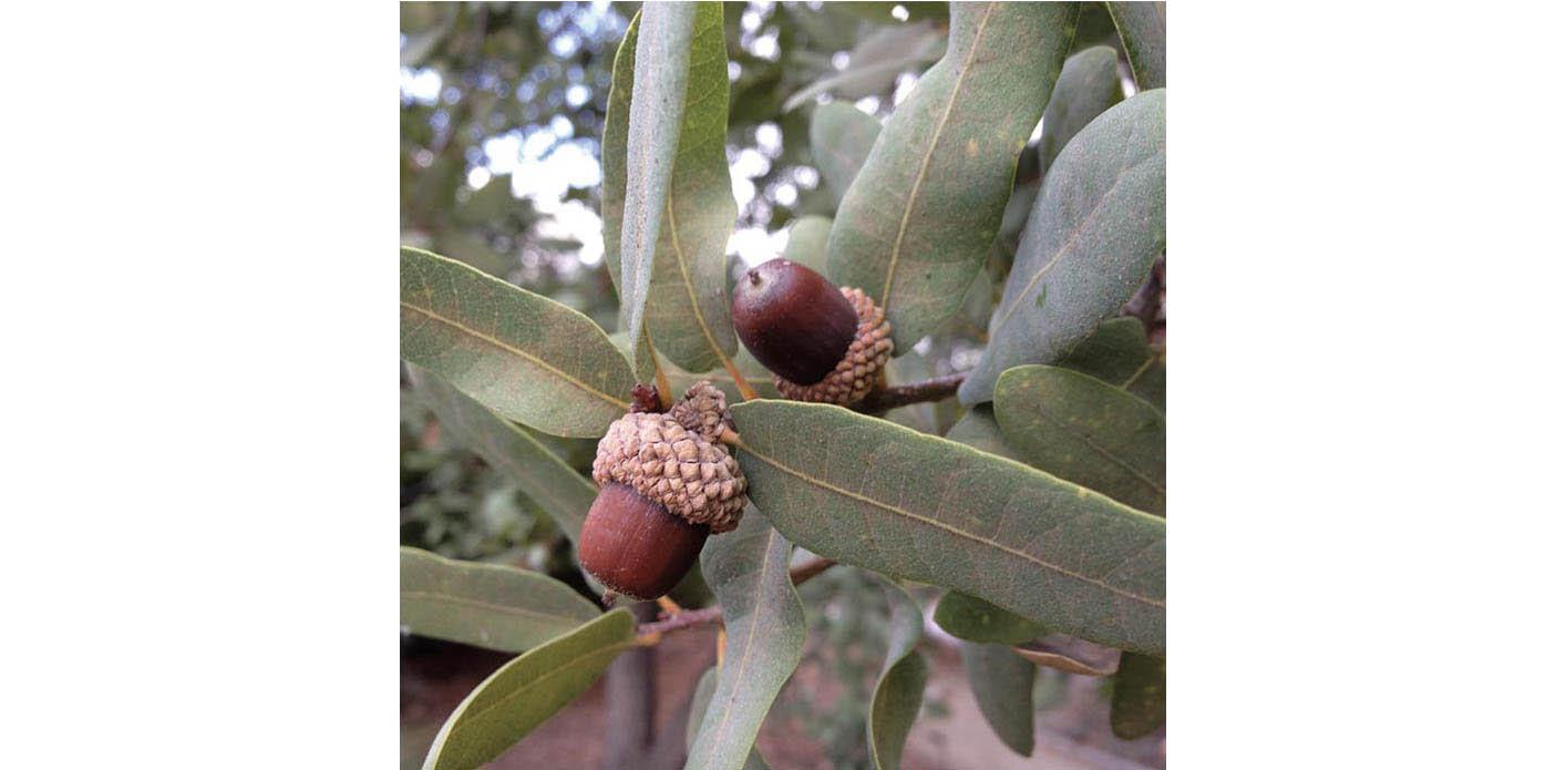 Oak : Coast Live Oak ( Quercus agrifolia)   or Englemann Oak ( Quercus engelmannii ). Pictured is an Engelmann Oak . Image © Pam Pavela