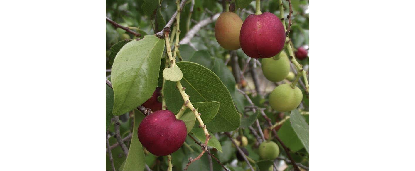 Cherry  (not the common cherry): holly-leaf cherry ( Prunus  ilicifolia) and Carolina laurel cherry ( Prunus caroliniana).  Pictured is a holly-leaf cherry.