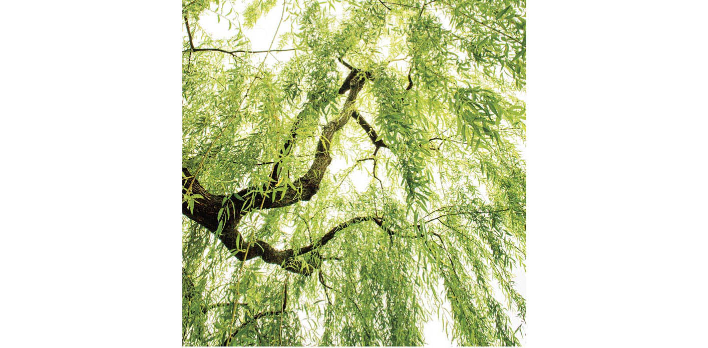 Willow : arroyo willow ( Salix lasiolepis ), Goodding's black willow ( Salix gooddingii ), red willow ( Salix laevigat a), and sandbar willow ( Salix exigua )