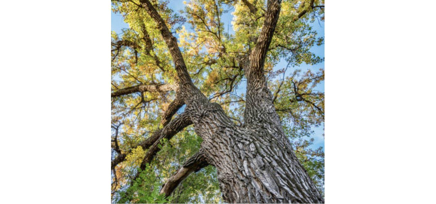 Cottonwood : Freemont cottonwood ( Populus freemontii ), black cottonwood ( Populus trichocarpa ),