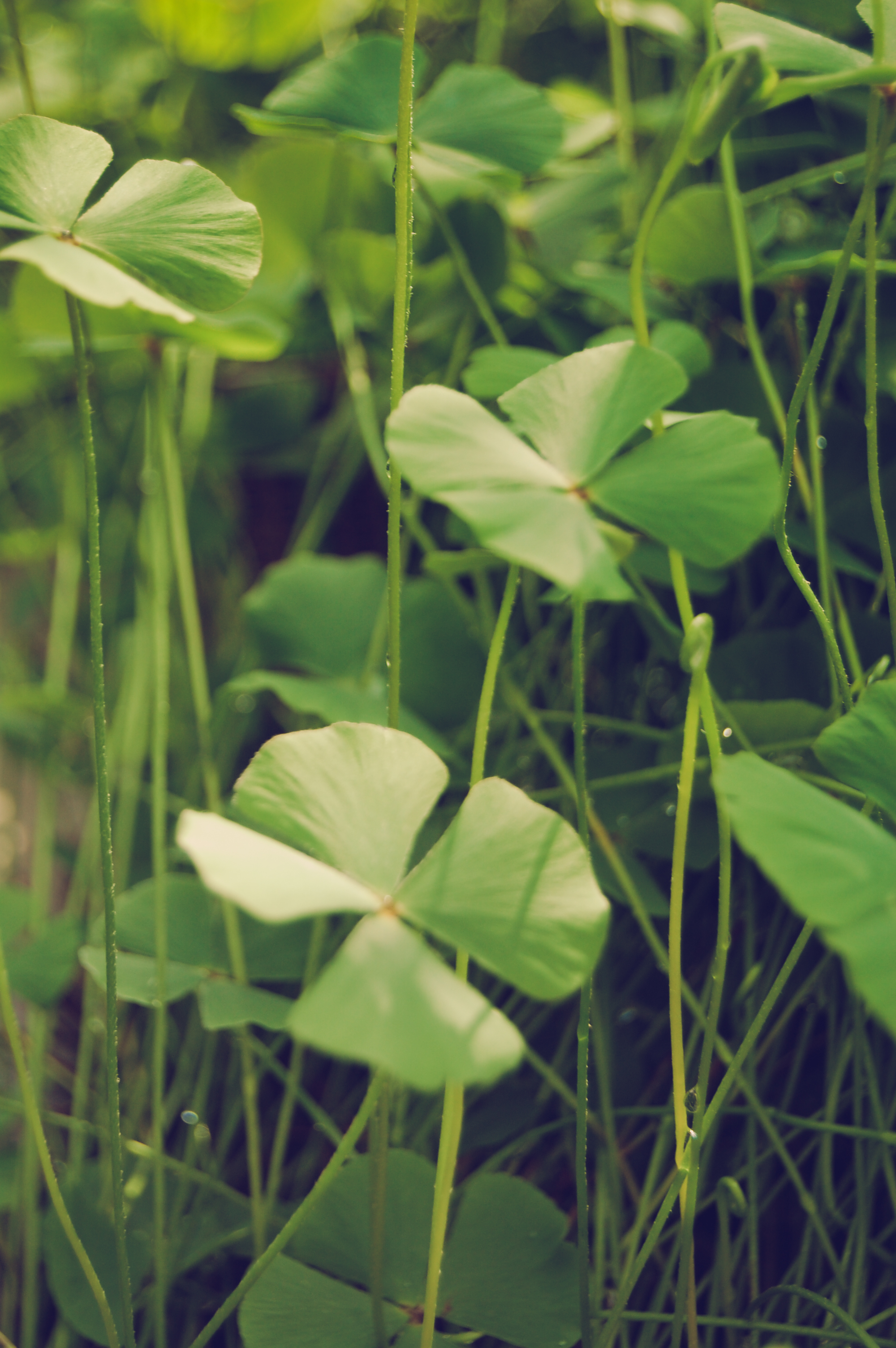 four-leaf-clovers_5898078199_o.jpg