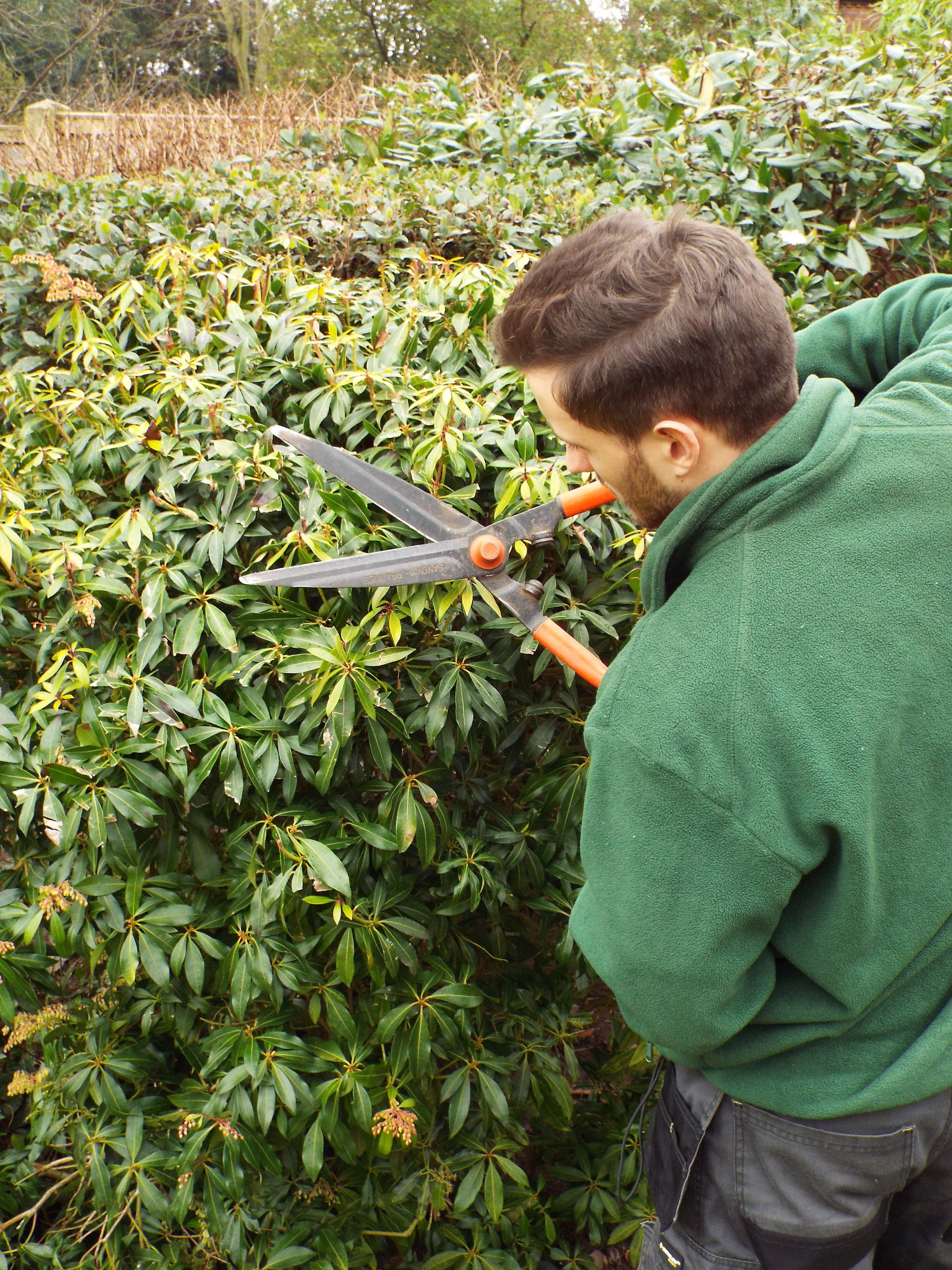 Man trimming a garden hedge