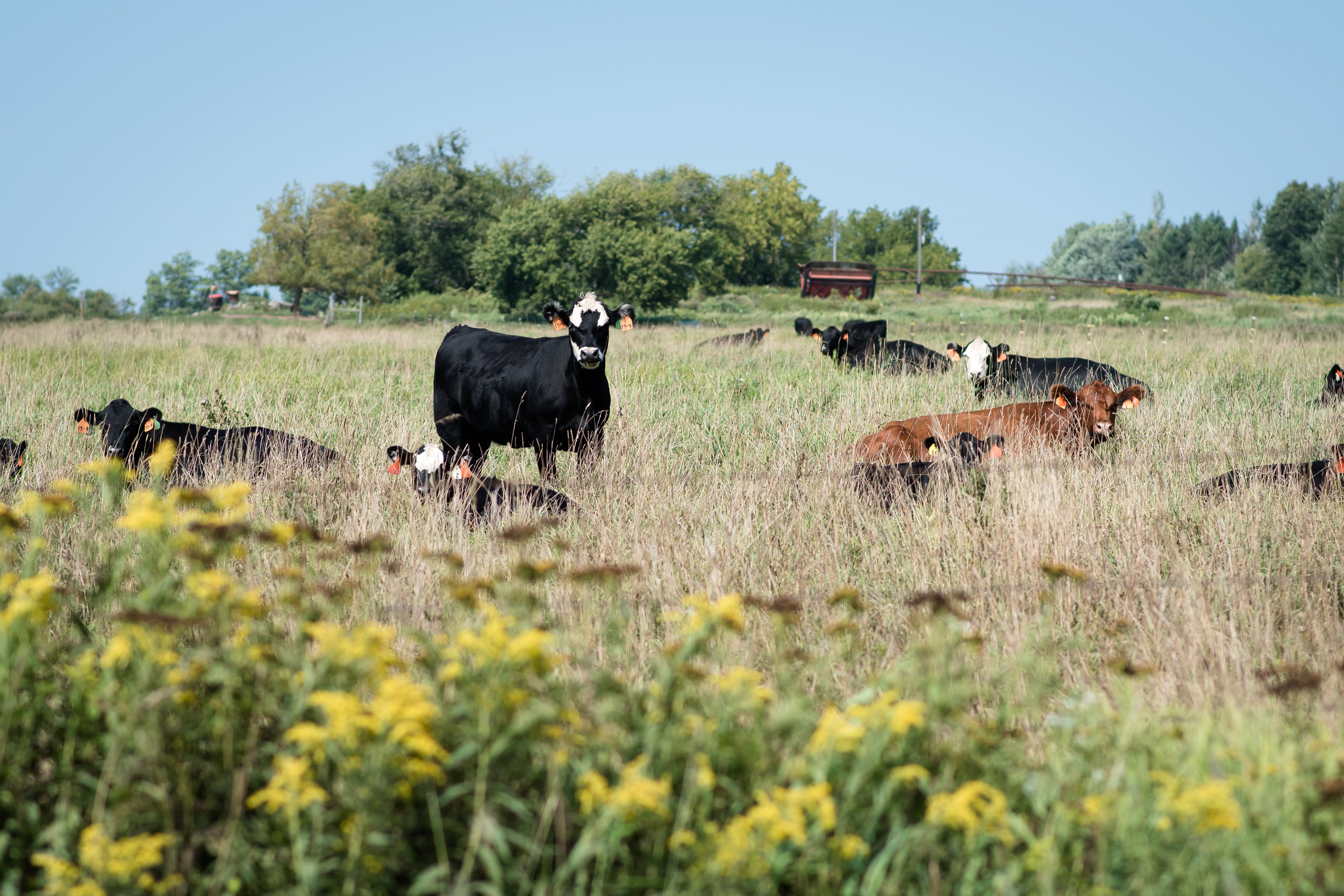 The field across the street is usually speckled with cows.
