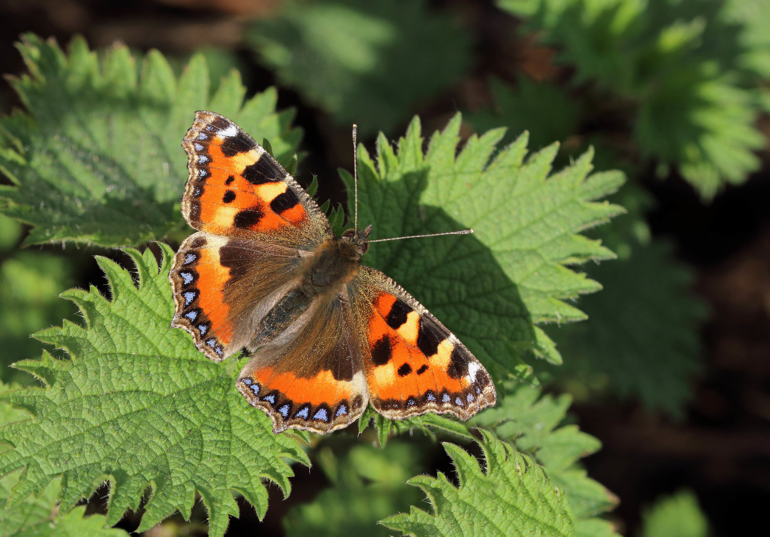 This project will be led by Russel Hobson, Head of Conservation for Wales and his team of butterfly and moth experts, who commenced the very early stages of the butterfly count in 2018 continuing into 2019, with the moth count taking place over a lengthy period in 2019. (The previous count for moths here occurred in 1920, so this will provide an invaluable set of comparative statistics 100 years later !).    Photo of a Small Tortoiseshell courtesy of Mark Searle & Butterfly Conservation