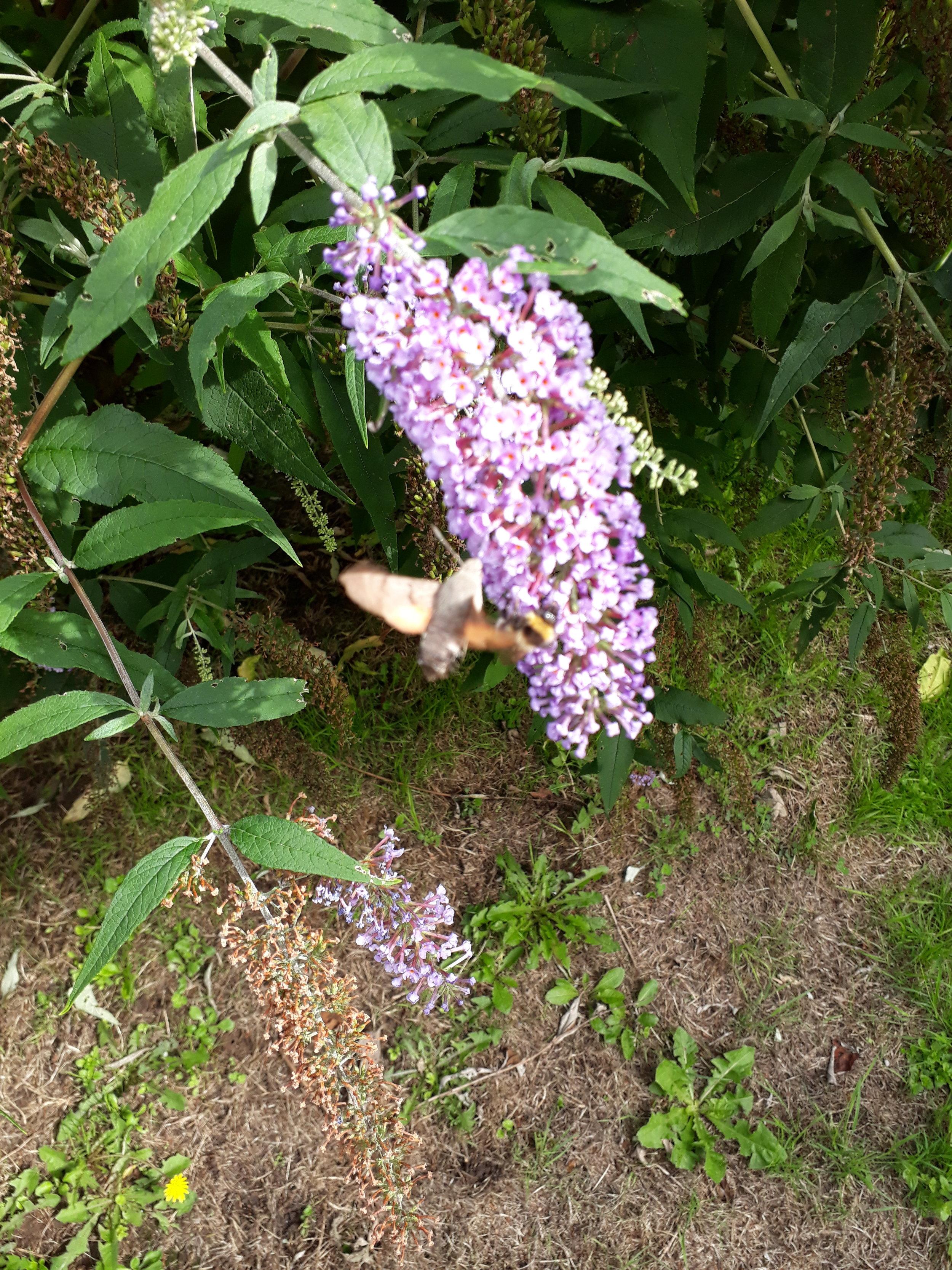 humming-bird hawk-moth.jpg