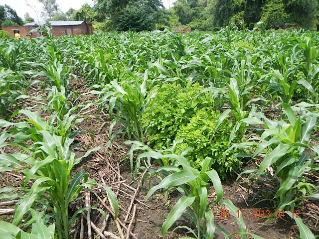 Well-Managed-Field-of-Gliricidia-Maize-Intercropping-Mfuwe.jpg