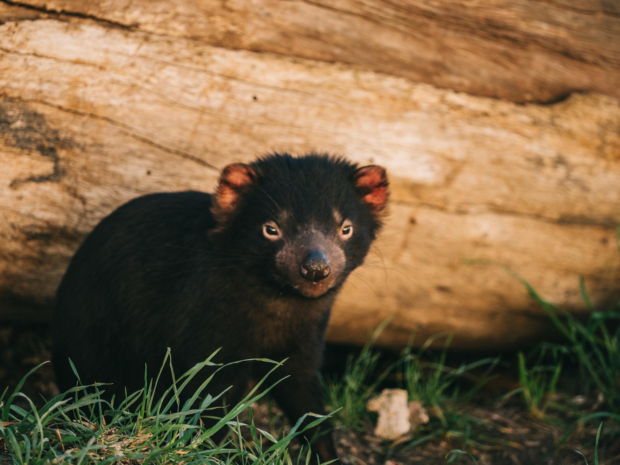 Young Tasmanian Devil, East Coast Nature World, Bicheno, Tasmania