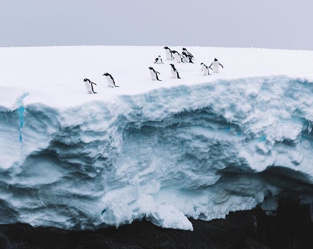 """""""Who's going first?"""" To dive into the great unknown waters of Antartica is a huge risk for these little guys and they know that all too well. Pacing up and down finding the perfect spot to dive from. Who know's what predator will be waiting for them down below...👹 ✧ @aurora_expeditions #auroraexpeditions  #Antarctica #AntarcticPeninsula #kingpenguin #penguins #penguinlove #southgeorgiaisland #southgeorgia #EverythingAntarctica #NatGeoYourShot #BBCTravel"""