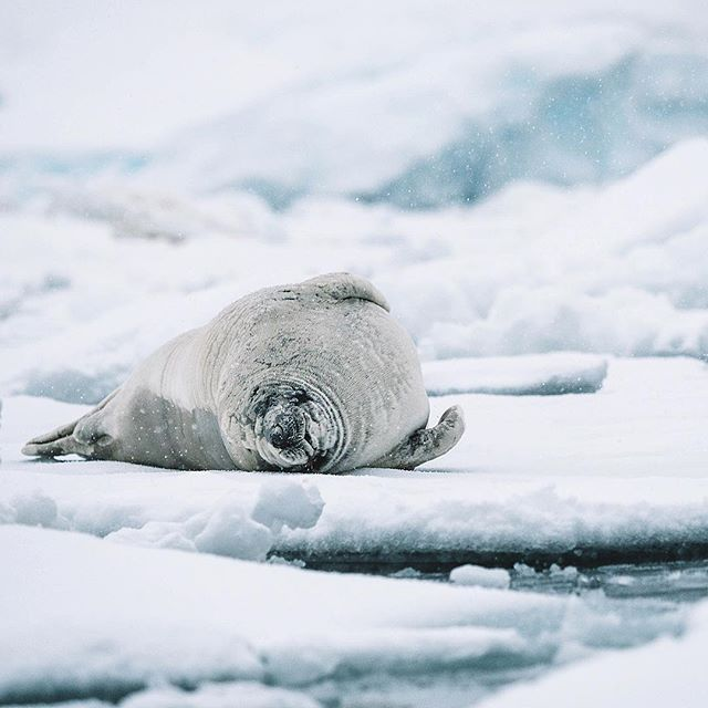 I'm cute but my belly's full of penguins hehe 😈 ✧  @olympus_au #olympusinspired ✧ #Antarctica #AntarcticPeninsula #kingpenguin #weddellseal #iceberg #southgeorgiaisland #southgeorgia #EverythingAntarctica #polarpioneer #auroraexpeditions #NatGeoYourShot #BBCTravel