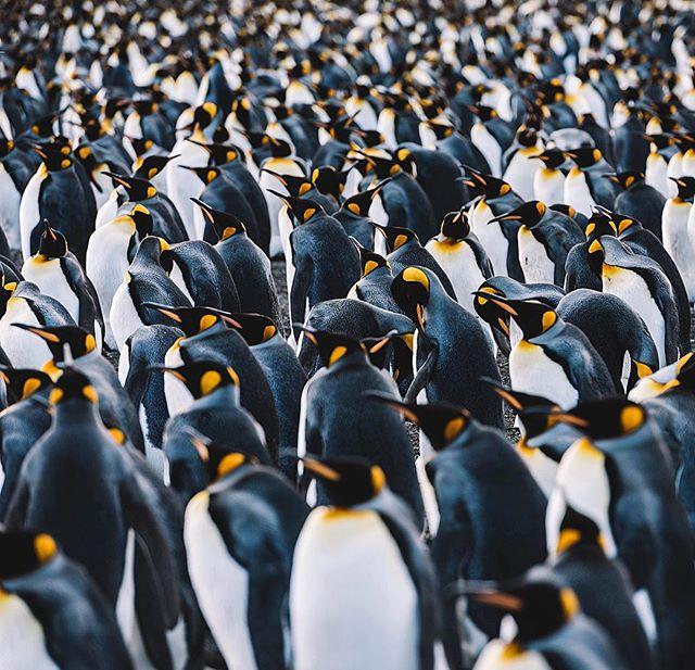 Just a few pengies on South Georgia 🐧🐧🐧 ✧  @aurora_expeditions ✧ #Antarctica #AntarcticPeninsula #kingpenguin #penguins #penguinlove #southgeorgiaisland #southgeorgia #EverythingAntarctica #polarpioneer #auroraexpeditions #NatGeoYourShot #BBCTravel