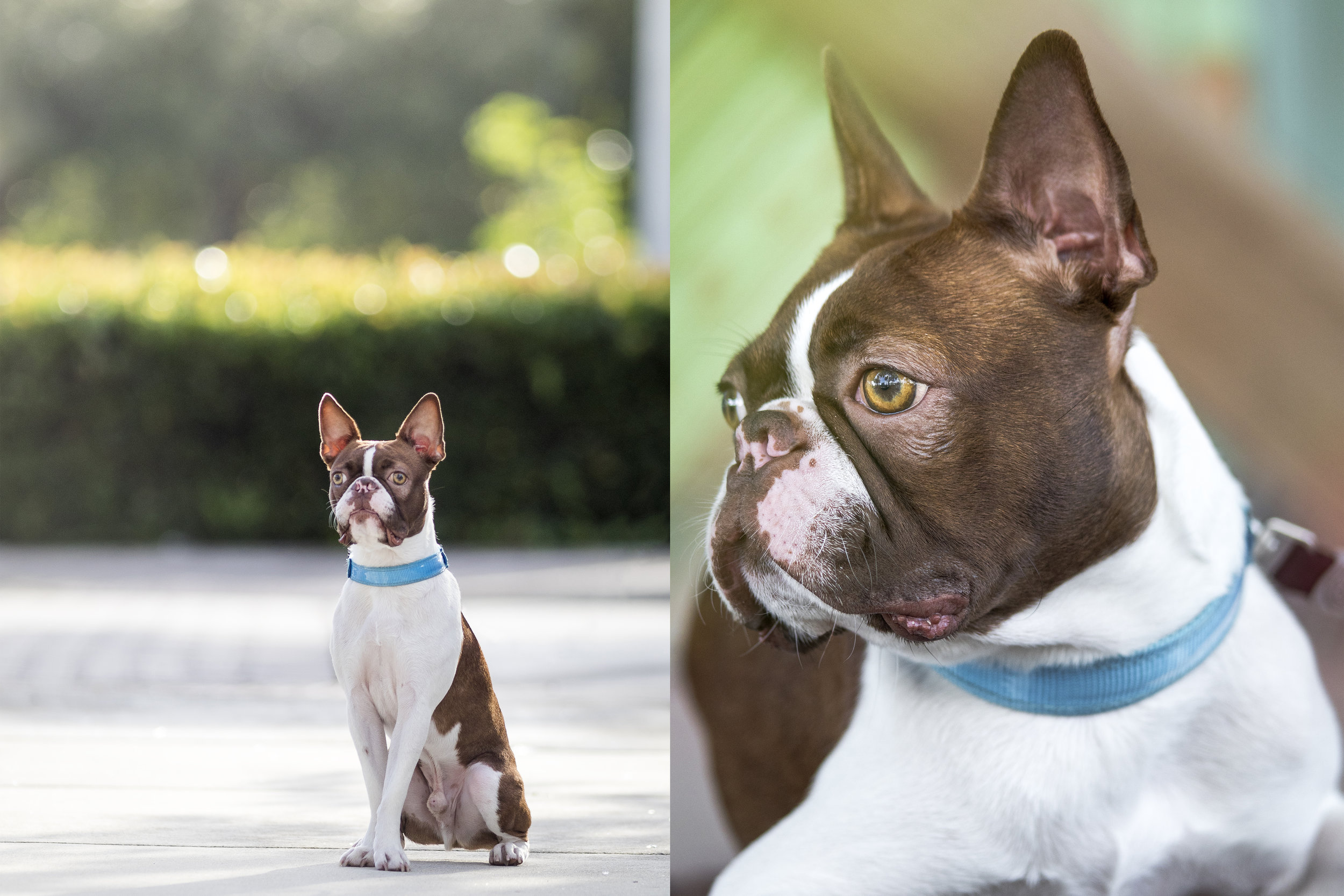 Urban Boston Terrier