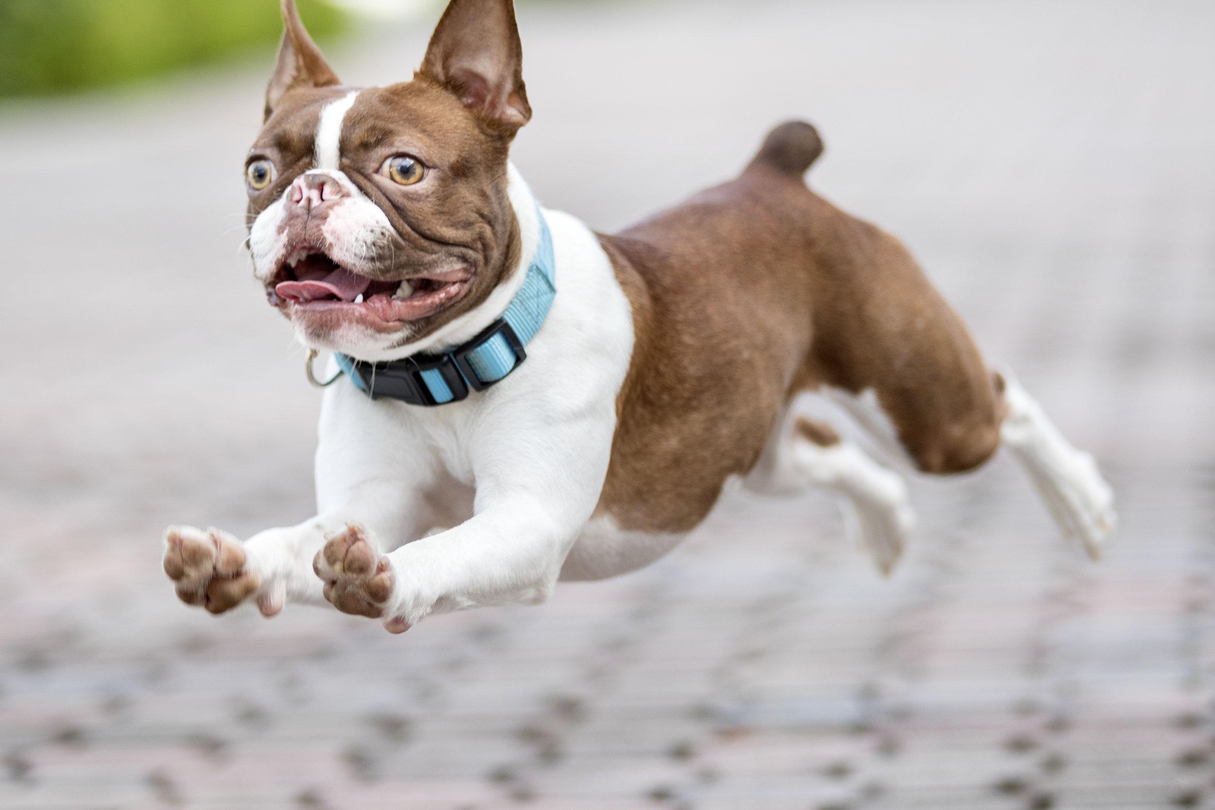 Urban Boston Terrier