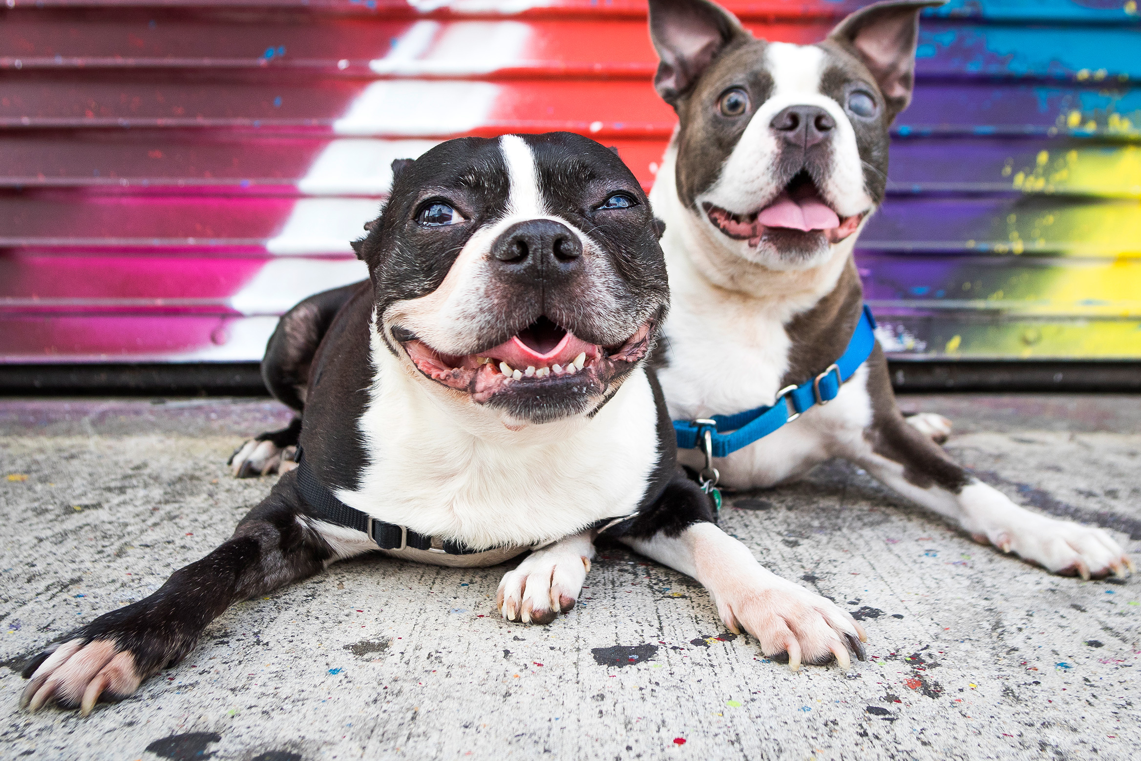 Boston Terrier - Pet & Dog Portrait Photography