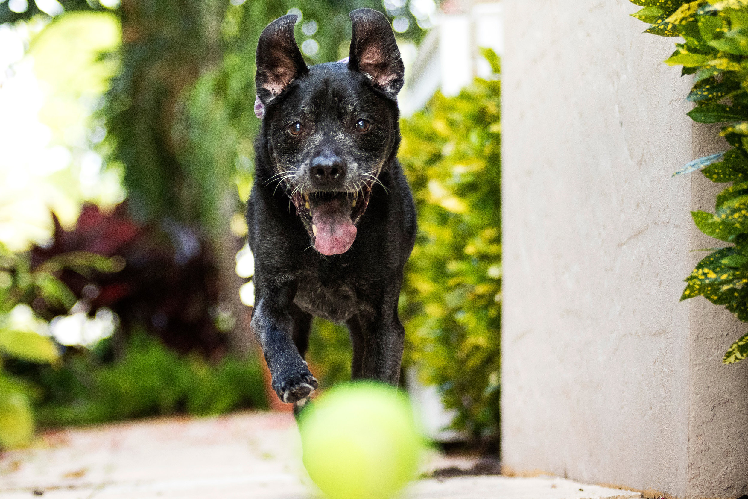Black Lab Mix in Fort Lauderdale