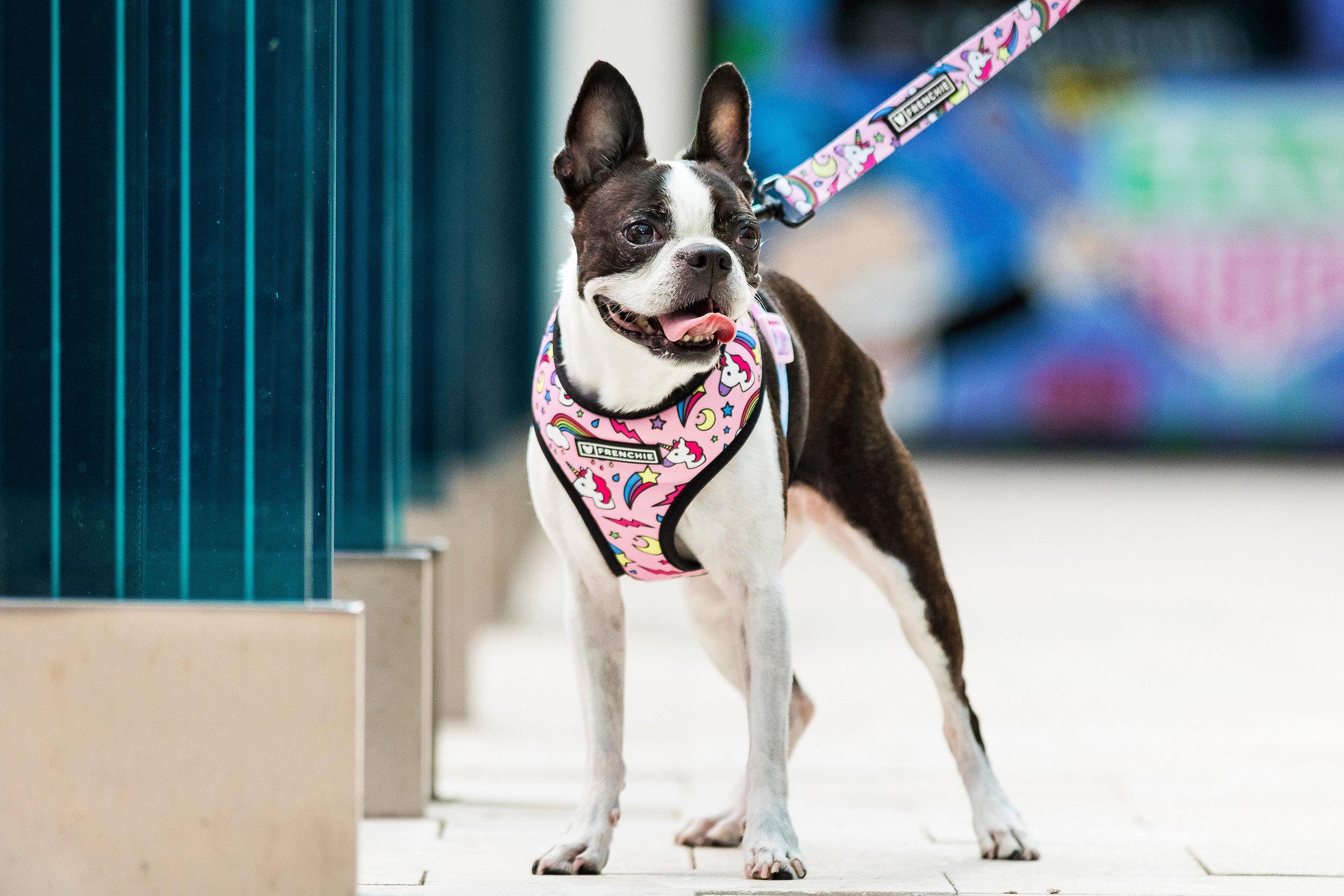 Boston Terrier in Miami