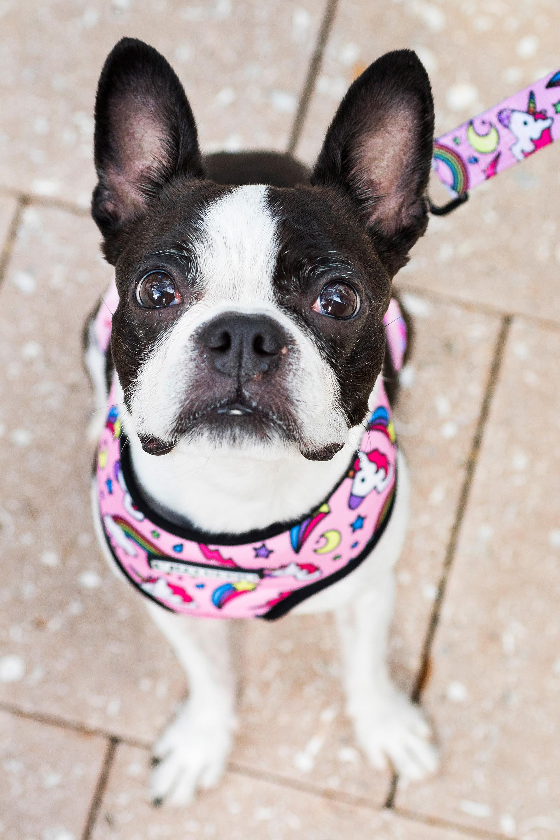 Boston Terrier in Miami Design District