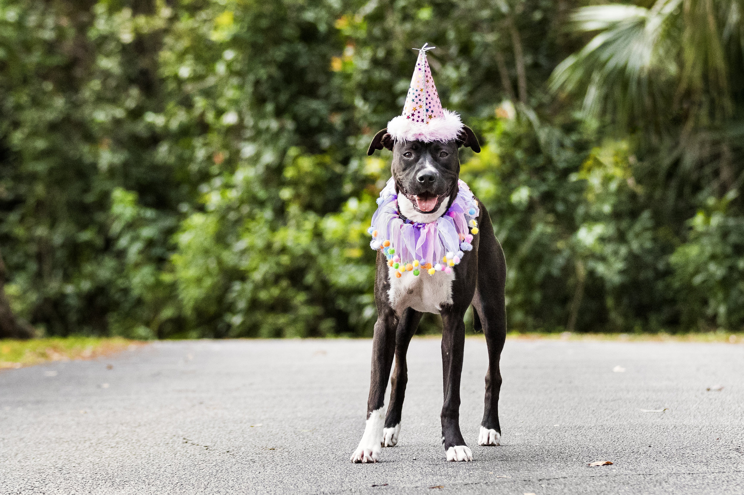 Boxer mix in Fort Lauderdale