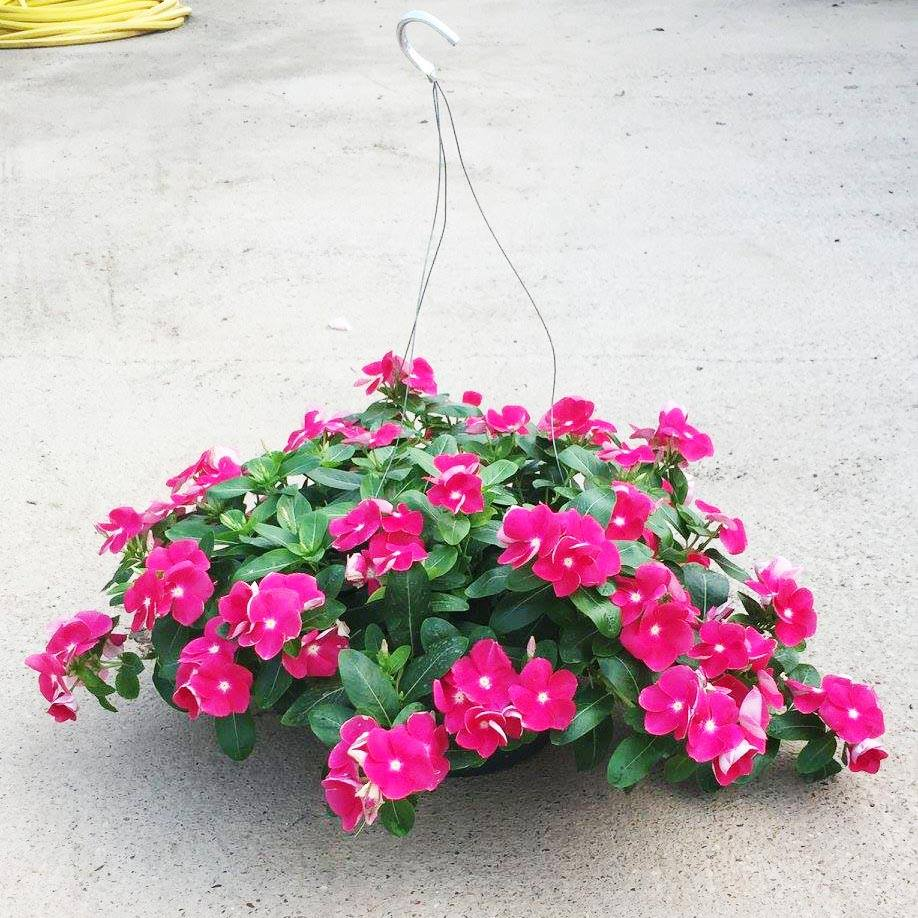 A beautiful hanging basket from Creekside Nursery that was fed with Nelson Plant Food's ColorStar.